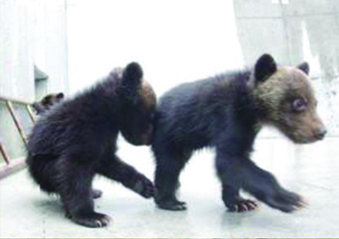 beruang-kecil