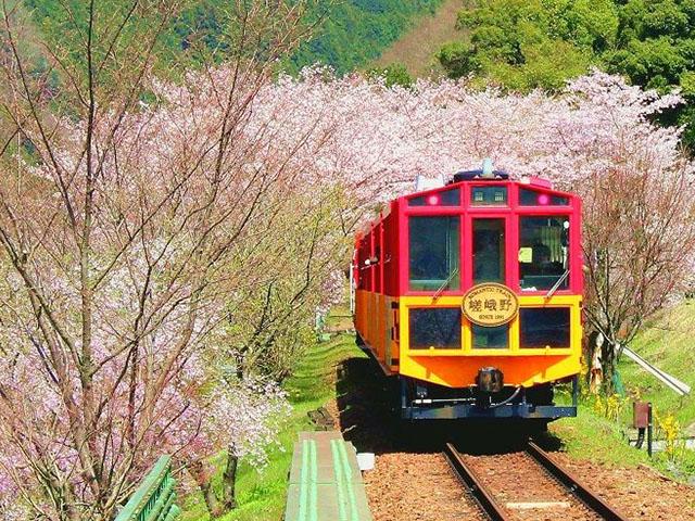 sagano-train-sakura