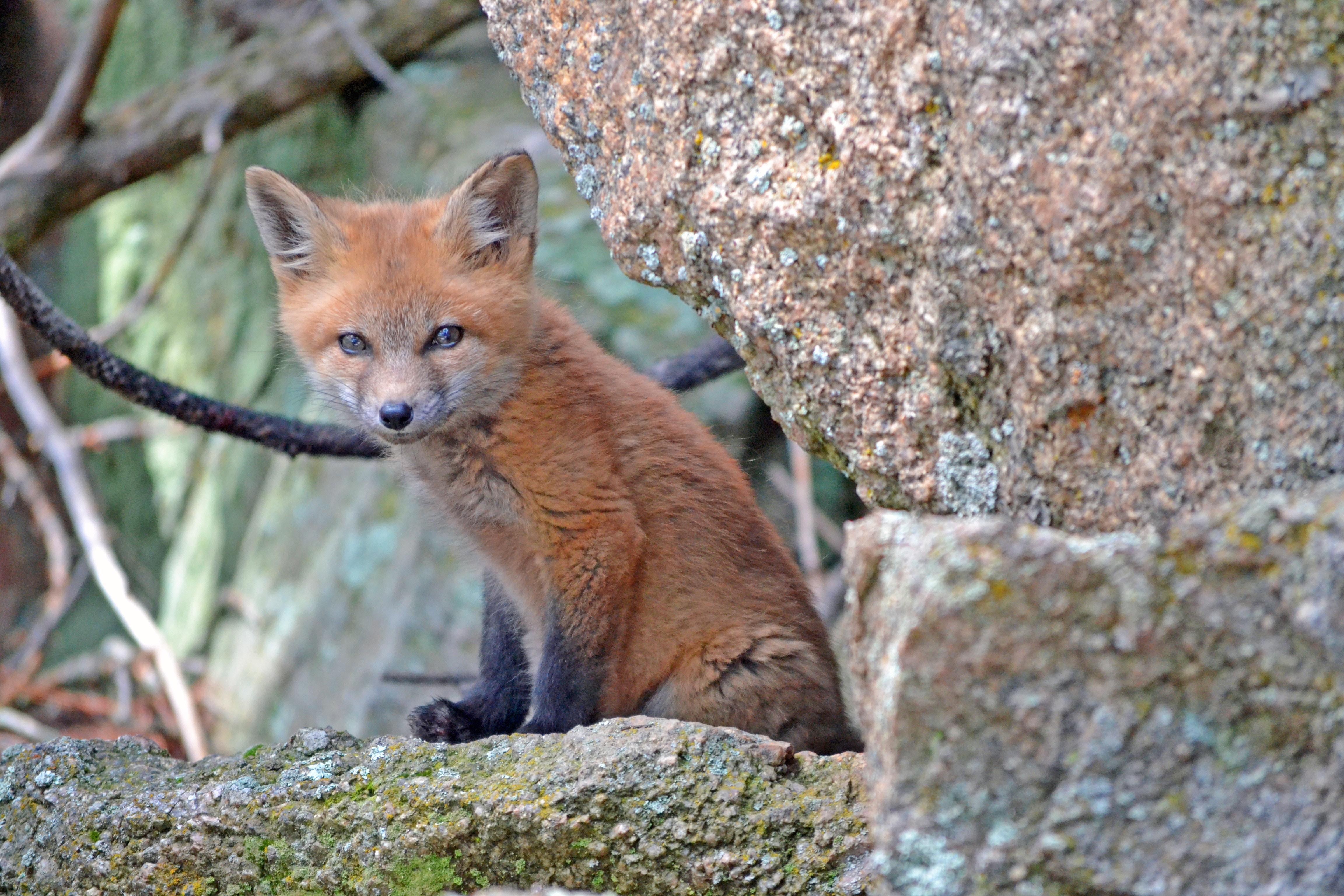 baby-fox-jb