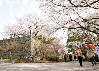 (Afternoon) Fukuoka Sakura Walking Tours By Sunrise Tours