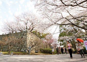 (Afternoon) Fukuoka Sakura Walking Tours By Sunrise Tours