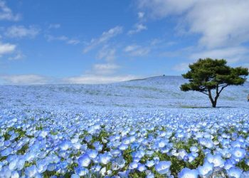 1 Day Nemophila & Wisteria Flower Tours by Club Tourism