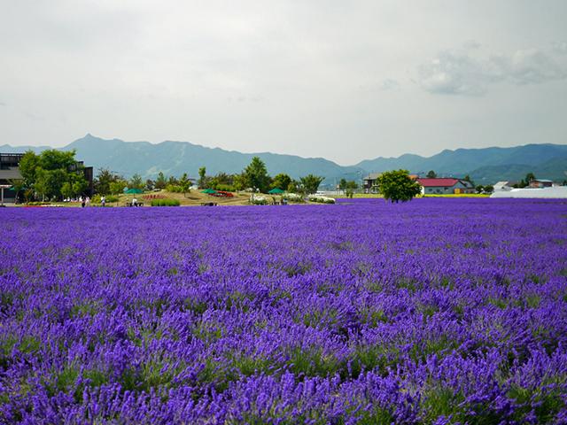 lavender farm tomita japan