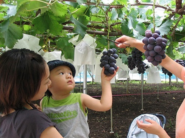 grape picking all you can eat