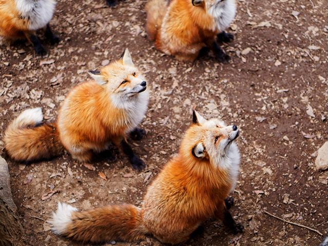 Miyagi Fox Village2