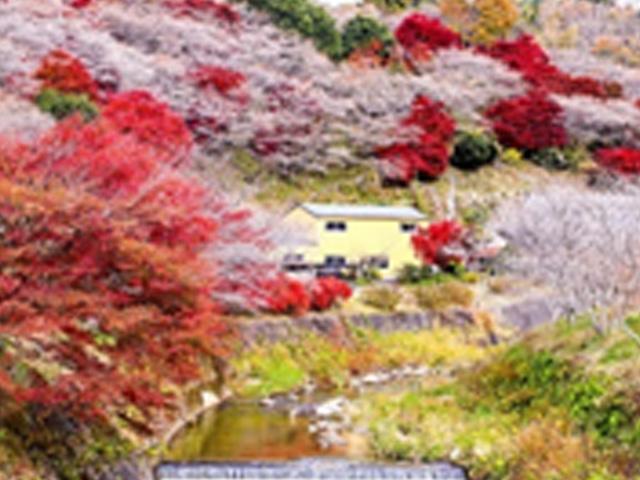 Obara Four Season Cherry Blossom